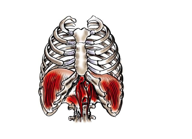 Vejrtrækningsøvelser - mellemgulvet er den primære vejrtrækningsmuskel